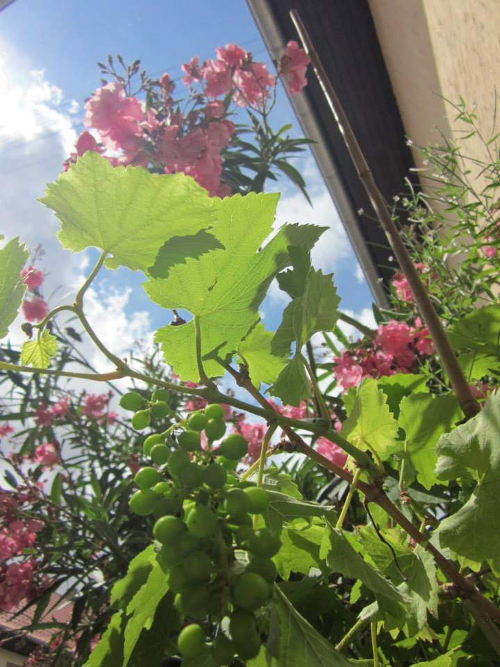 In unserem Hof fühlen sich Reben und Oleander wohl