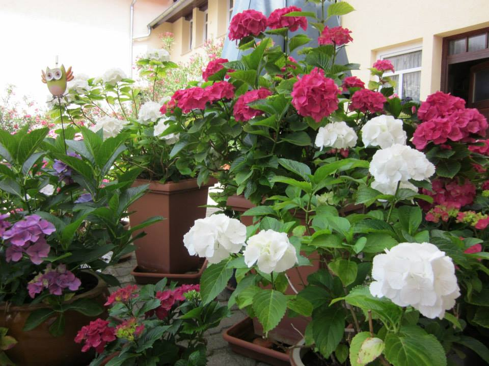 Die Hortensien bringen ebenfalls Farbe