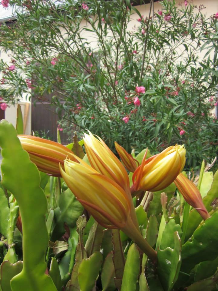 Der Kaktus kurz vor der Blüte. Jedes Jahr wunderschön