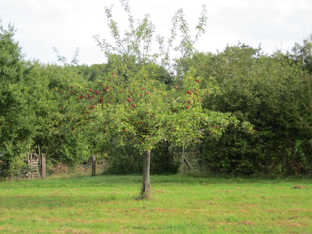 Apfelbaum Streuobstwiese