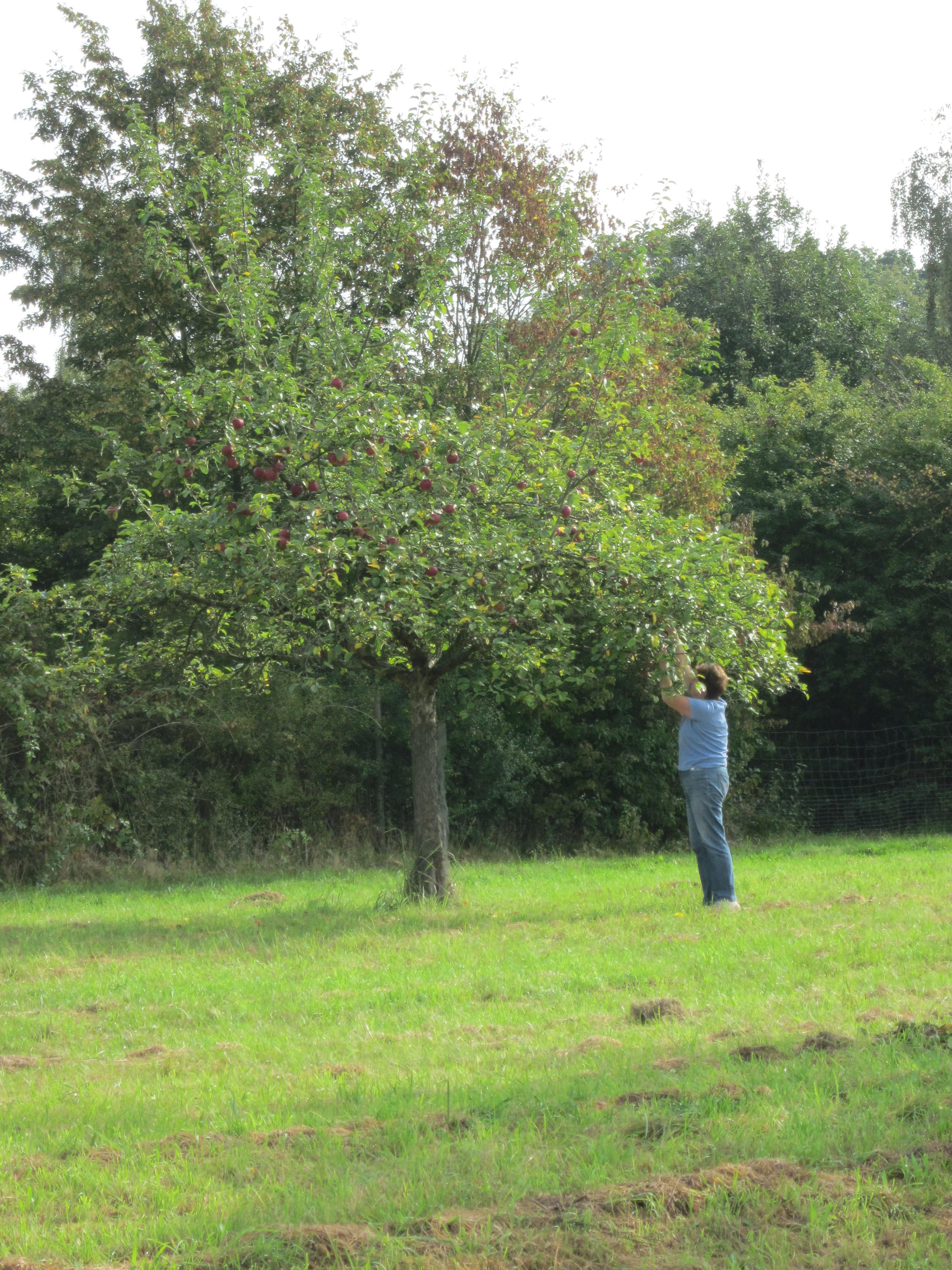 Apfelbaum Ernte
