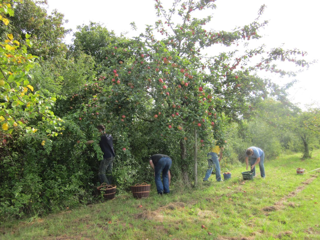 Apfelernte Streuobstwiese
