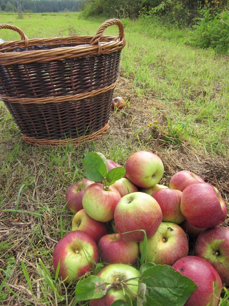 Äpfel Apfelernte Streuobstwiese
